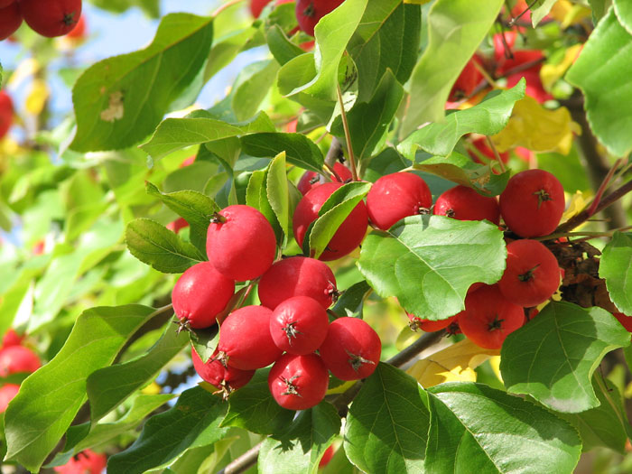 crab_apples_09-2006.jpg